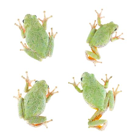 tree frog: Tree Frog (4 views) Isolated on White Stock Photo