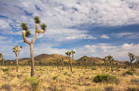 joshua: Joshua Trees in Joshua Tree National Park (Mojave Desert) - California Stock Photo