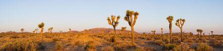 Sunrise in the Mojave Desert of Joshua Tree National Park (Panorama) 版權商用圖片