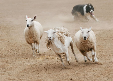 working animal: A sheepdog chasing a group of sheep in a dirt field.