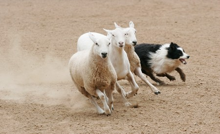 sheepdog: Sheep Herding Stock Photo