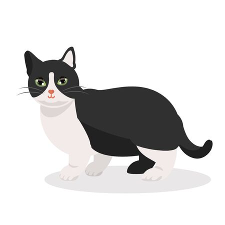 Cat tuxedo black and white munchkin breed. Small paws cat. Nice cute little paws kitty. vector illustration isolated.