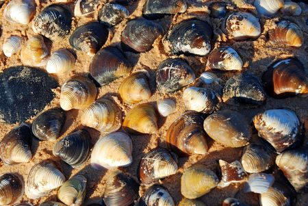 Clam shells clustered together on beach photo