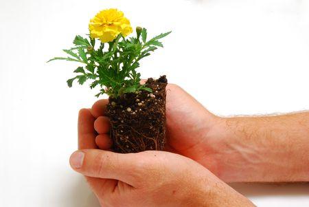 Marigold seedling in hands symbolizing new gardening season photo
