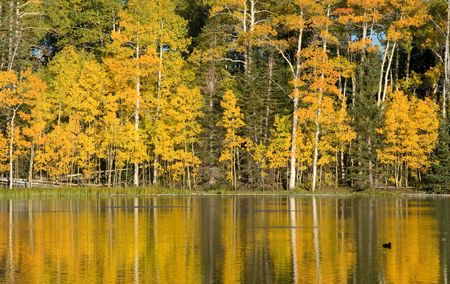 quaking aspen: Autumn Pond