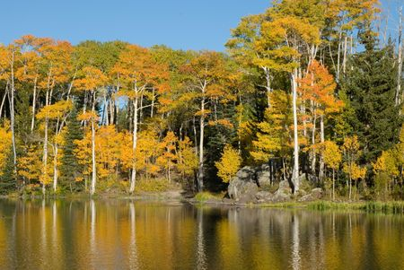 quaking aspen: Quaking Aspens In Fall