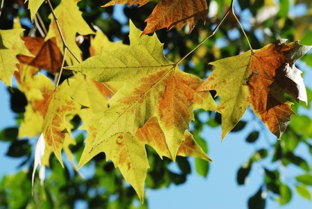 Yellow leaves Stock Photo - 10950069