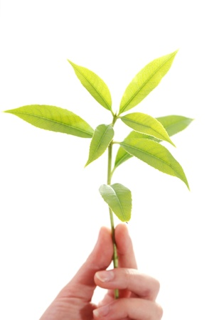 Hand holding young plant in soil on white photo