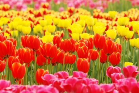 fresh tulips Stock Photo - 13068410