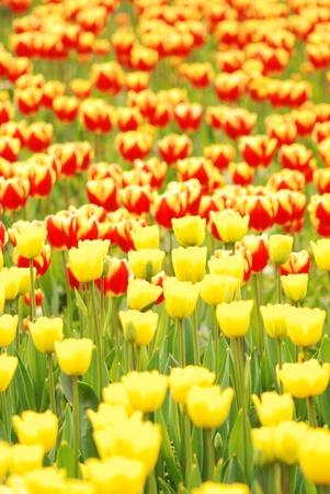fresh tulips Stock Photo - 13067207