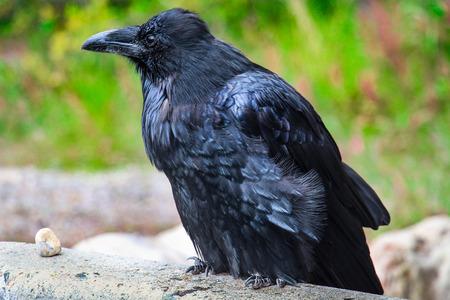 black raven: Old Black raven