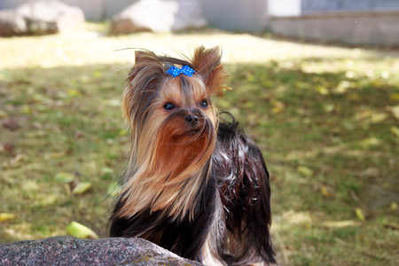 Yorkshire Terrier Dog on the green grass play Stock Photo