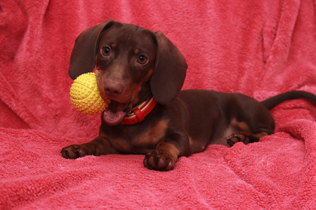 doxie: little cute dog chocolate Dachshund lays on pink background Stock Photo
