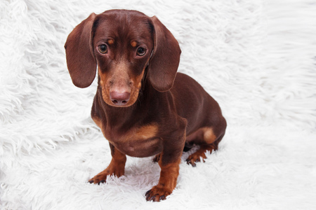 purebred dachshund dog Stock Photo - 89785976