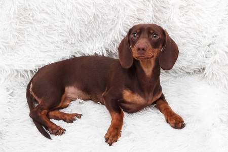 purebred dachshund dog Stock Photo