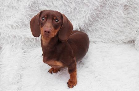 purebred dachshund dog Stock Photo - 90664262