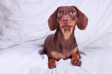 Young chocolate Dachshund dog sitting over white background Stock Photo