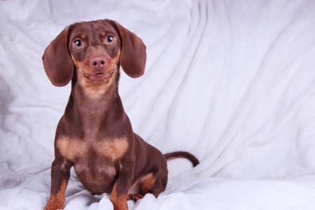 Young chocolate Dachshund dog sitting over white background Stock Photo