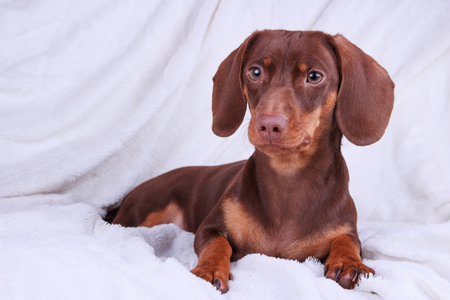 Small cute chocolate dachshund dog on a white background
