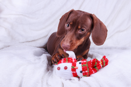 Happy new year Dachshund Stock Photo