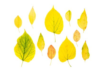 Collection beautiful colorful autumn leaves isolated on white background. Top view, flat lay