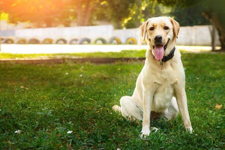 Portrait of golden labrador sitting on a green grass in the looking at camera. Walk the dog concept