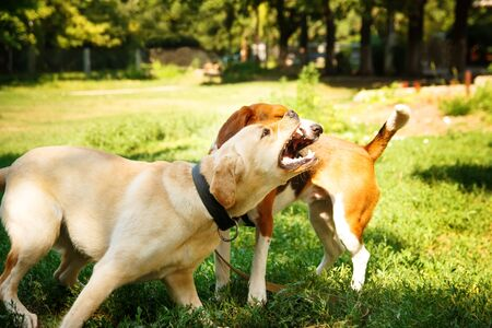 Two agressive dogs. Dog attack. Labrador and beagle fighting outdoors