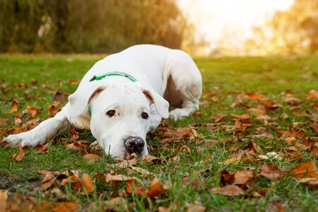 Dogo argentino lies on grass in autumn park. Canine background.