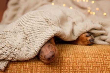 Dog sleeps under the blanket near christmas light. Close up