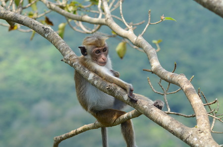 siting: A young monkey siting on the branch of the tree