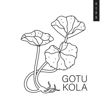 Vector illustration of indian pennywort, Asiatic pennywort or goyu kola drawn in outline style isolated on white background. Herbal botanic drawing of gotu kola for print, emblem.