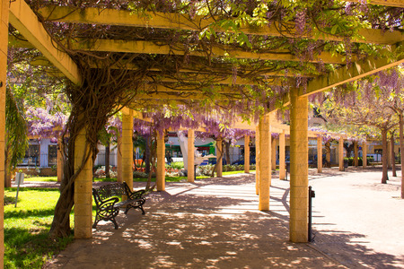 Acacia. Beautiful flowers.Park. Violet plant. Garden.