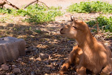 baby goat: Goat. Beautiful little beige goat. Farm animal.