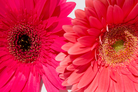 Two gerbers. Beautiful pink flowers isolated on white background. 版權商用圖片