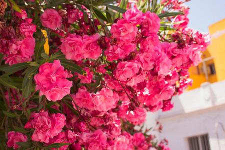 Bush beautiful pink flowers mediterranean tropical plant stock beautiful pink flowers mediterranean tropical plant stock photo 80872622 mightylinksfo