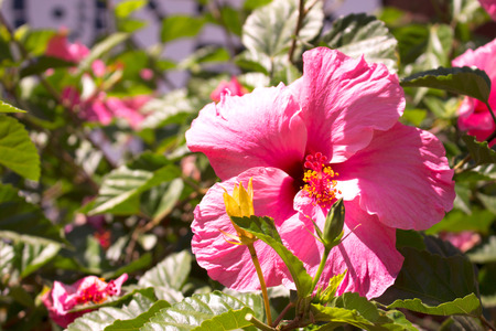 Hibiscus beautiful tropical plant with pink flowers mediterranean beautiful tropical plant with pink flowers mediterranean tree stock photo 80872688 mightylinksfo