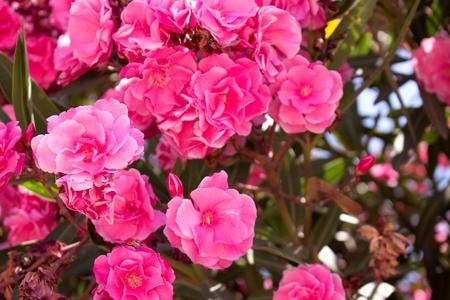 textured wall: Bush. Beautiful pink flowers. Mediterranean tropical plant. Stock Photo