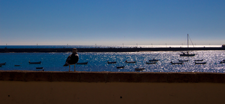 Gull. Seagull on the parapet of the waterfront of Cadiz.