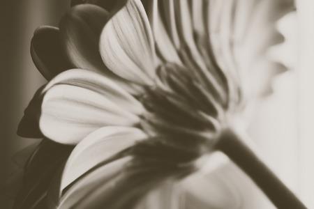 Gerber Macro black and white Gerber Daisy. Black and white flower.