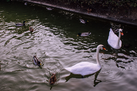Swans and ducks in the pond in the Park of Benalmadena, Andalusia, Spain.