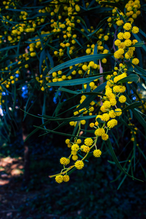 Mimosa. Blooming mimosa tree. Mimosa Spring Flowers Easter background.