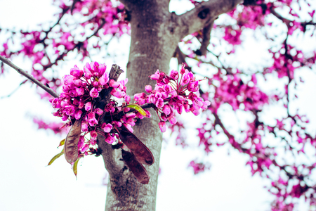 Cercis siliquastrum. Blooming spring tree with pink flowers.