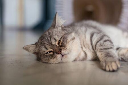 Scottish Straight. Cute cat portrait, happy pet.
