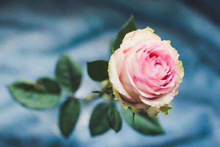 Pink rose A close-up of beautiful rose.