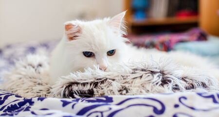 Pretty cat. Cute white cat on a plaid.