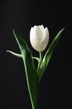White tulip against the black background Stock Photo - 9207206
