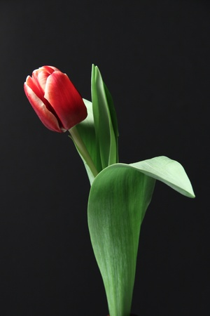 Red tulip against the black background photo