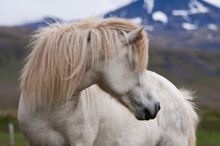 Close up shot of an icelandic white horse in a field