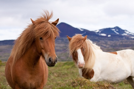 on pasture: Two icelandic horses standing in a field
