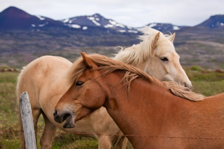 icelandic: Close up shot of the icelandic horses standing in a field